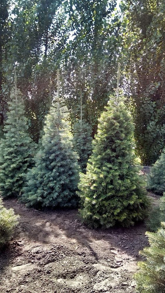 Abies Concolor White Fir Nursery Of Ornamental Plants Florex Ukraine